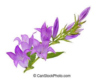 rapunculoides, fleurs, campanule, jacinthe des bois