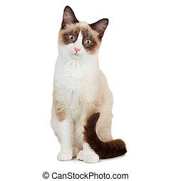 raqueta, gato blanco, aislado