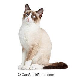 raquette, chat blanc, isolé, fond