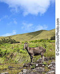 rare and endangered nilgiri tahr in eravikalum national park...