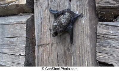 rare bat (Eptesicus nilssonii) - rare bat species (Eptesicus...