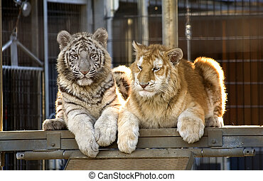 Rare Bengal Tiger Cubs - Royal White Tiger Cub and Golden...
