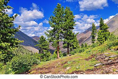 Rare cedar trees in the mountains
