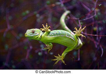 Rare Green gecko Northland New Zealand