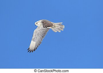 Rare (Gyrfalcon Falco rusticolus) in flight against a blue...