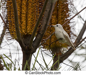Rare Leucistic Anna's Hummingbird (Calypte anna) feeding on Hairpin Banskia (Banksia spinulosa) flower.