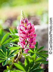 Rare pink Lupin flower (Lupinus) in the summer