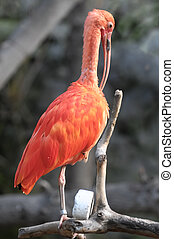 Pink Parrot - Rare Pink Parrot Bird with very Long Beak