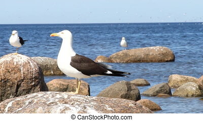 rare seagull close up. a colony of birds with voices -...