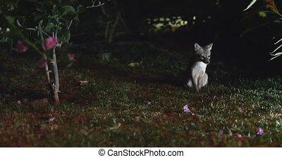 Rare shot of the Costa Rica Gray Fox at night. Cinematic 4K...