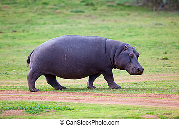 Hippo walking - Rare sighting of a Hippo walking out of...