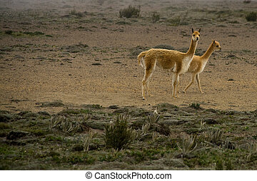 rare vicunas - vicuna mother and child