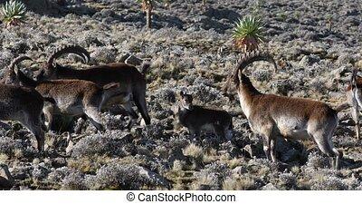 rare Walia ibex in Simien Mountains Ethiopia - Very rare...