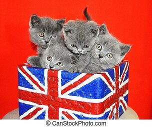 ras, brittisk, katt, söt, inrikes shorthair, litet, kattungar