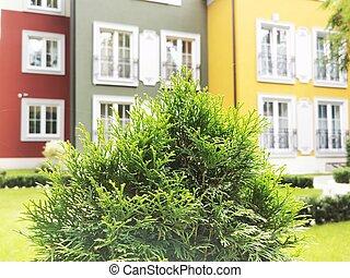 rasen, busch, grün, thuja, klein, arborvitae
