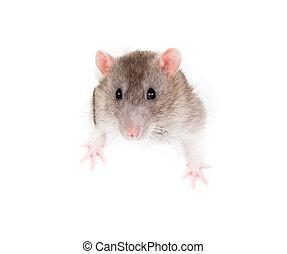 rasgado, doméstico, cinzento, isolado, rato, papel, buraco, lado