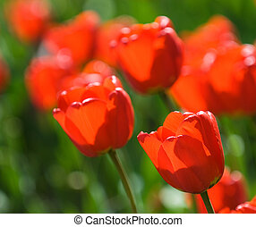raso, vermelho, tulips, foco