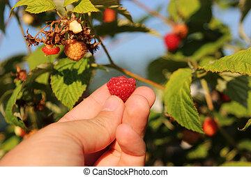Raspberries in a garden