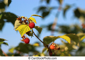 Raspberries in a garden