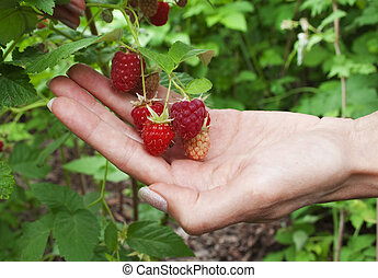 Raspberries in the women's hand