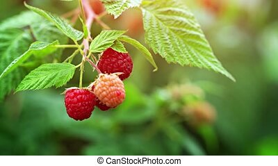 Raspberries on a Bush in a Garden - Cluster of delicious ...