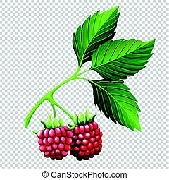 Raspberries on branch on transparent background illustration
