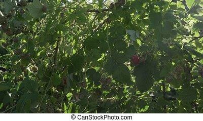 Raspberries ripen on bush in the garden stock footage video...