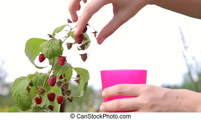 raspberries , Woman picking ripe raspberries in garden