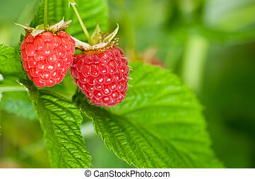 Raspberries_01(2).jpg