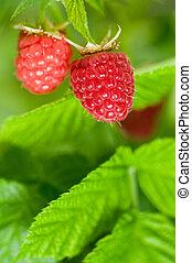 Raspberries_04(49).jpg
