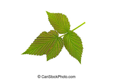 raspberry branch and green leaf isolated on white background
