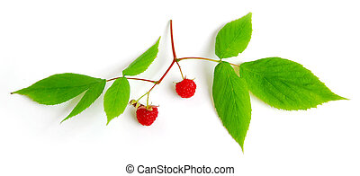 Raspberry branch with berries on white background