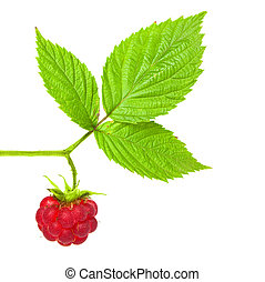 raspberry brench with ripe berry isolated on white
