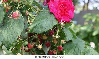 Raspberry bush fluttering in the wind
