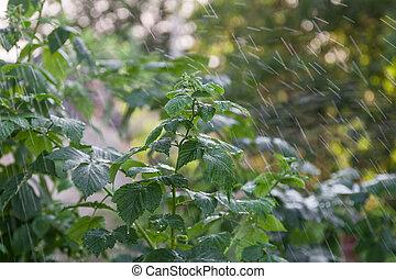 Raspberry bush in the rain