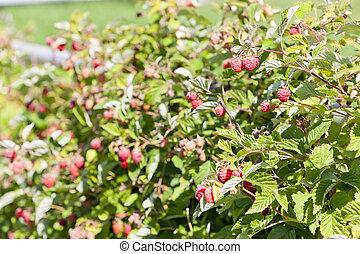 raspberry bush raspberries