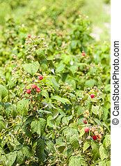 raspberry bushes