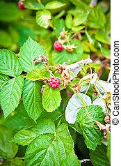 raspberry cane