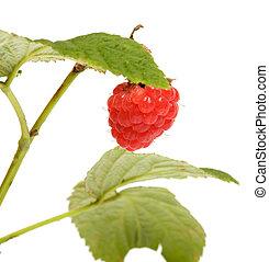 Raspberry-cane.