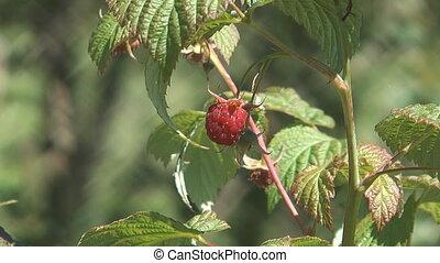 Raspberry-cane. - Closeup HD 1080 shot of raspberry on a...