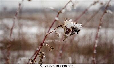 Raspberry cane with hoarfrost in winter field, december...