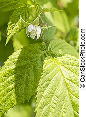 Raspberry flower