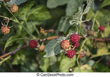 Raspberry grows in the forest.