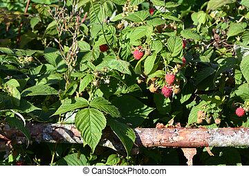 Raspberry in garden near old wooden fence