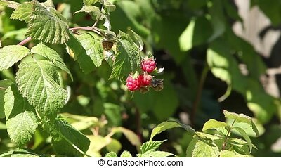Raspberry in nature zoom out