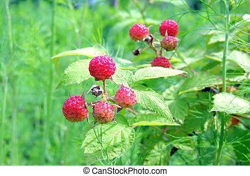 Raspberry in the garden