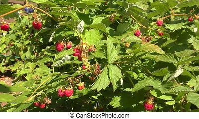 Raspberry in the garden - Raspberry in the summer garden