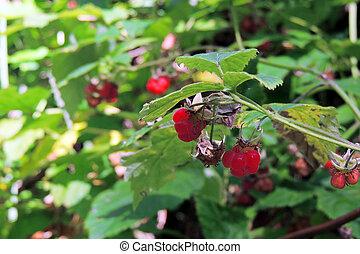 Raspberry in the garden