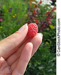 Raspberry in woman's fingers