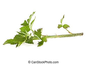 Raspberry leaf branch isolated on white background